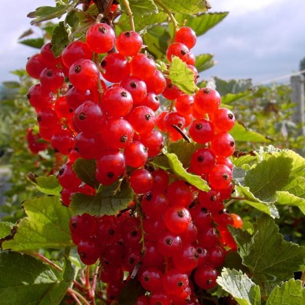 Junifer frühe rote Johannisbeere kräftiger Johannisbeerbusch 30-50 cm Pflanze im 5 Liter Topf