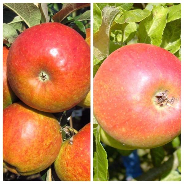 Duo Apfelbaum, 2 Sorten Apfel Pilot und Alkmene, 9,5 Liter Topf, Veredelungsunterlage MM 111