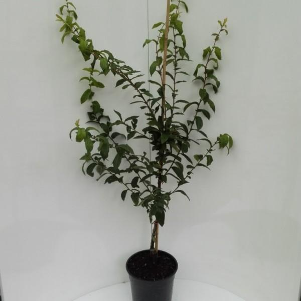 Mispel Westerveld Mespilus germanica Buschbaum 120-150 cm im 10 Liter Topf Unterlage Quitte A