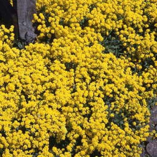Steinkraut, Alyssum saxatile Compactum Goldkugel goldgelbe Blüte Steingartenstaude im 0,5 Liter Topf