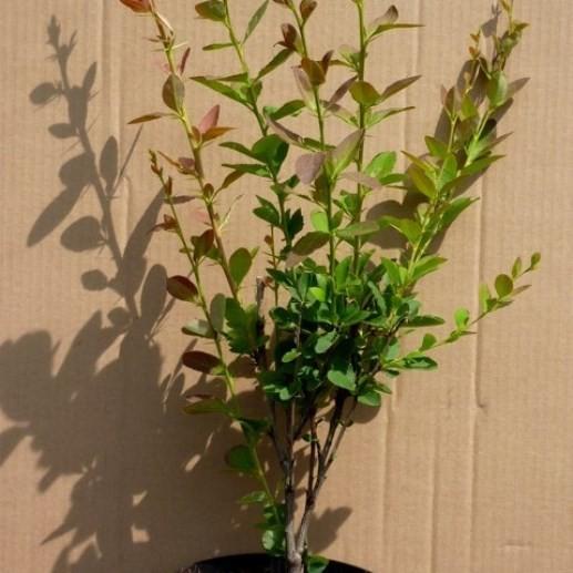 Sauerdorn Essigbeere gewöhnliche Berberitze - Berberis vulgaris