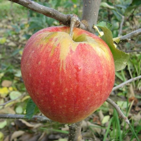 Apfelbaum Jonagold  Lagerapfel Tafelapfel zweijährig Apfel Halbstamm 175 - 200 cm 10 Liter Topf M7