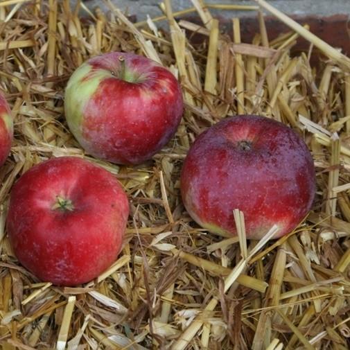 Apfelbaum Mira Ⓢ knackig süßsäuerlich Winterapfel Buschbaum 150-170 cm 10 Liter Topf Unterlage M7
