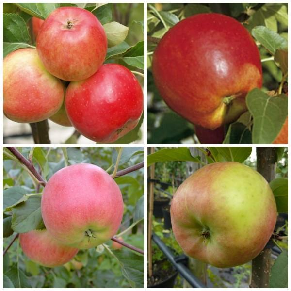 Vierling Apfelbaum Halbstamm 4 Sorten Discovery Nela Rubinola Topaz auf einem Baum Unterlage M7