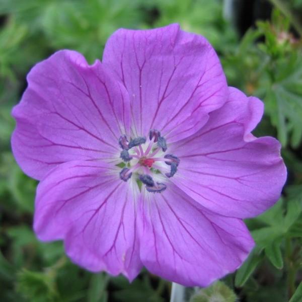 Blut Storchschnabel, Geranium sanguineum, violette Blüte im Mai bis August Staude im 0,5 Liter Topf