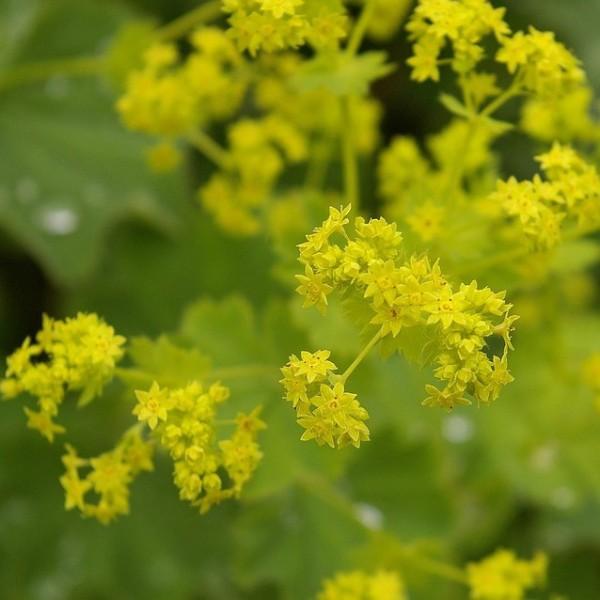 Frauenmantel, Alchemilla mollis, gelbblühend Mai bis Juli, Bodendecker, Staude im 0,5 Liter Topf