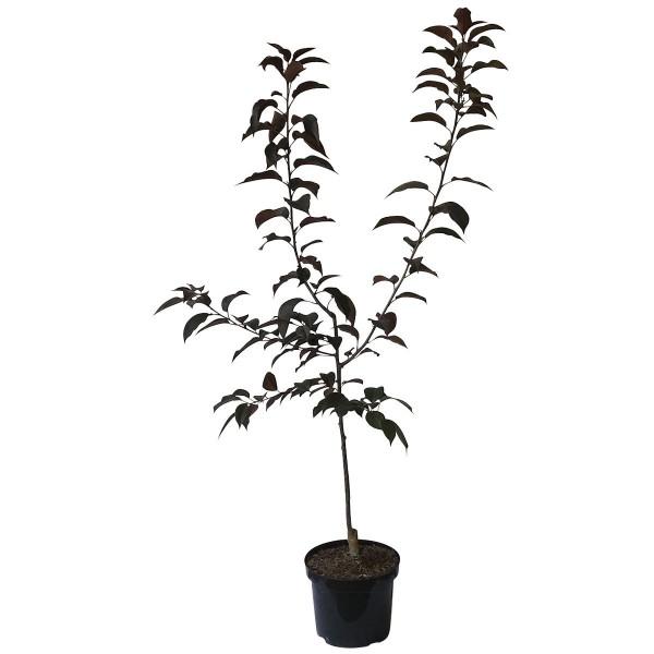Zierapfel Royalty rotes Laub  purpurfarbene Blüte Buschbaum 120-150 cm 7,5 Liter Topf, Unterlage: M9