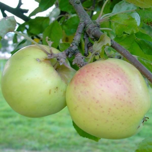 Grahams Jubiläumsapfel Sommerapfel