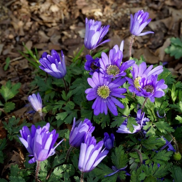 Anemone blanda Blue Shades Strahlenanemone Balkan-Windröschen blaue Blüte Staude im 0,5 L Topf