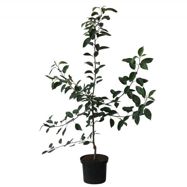 Finkenwerder Herbstprinz Syn Hasenkopf unempfindlicher historischer Apfel Buschbaum 120-150 cm MM111