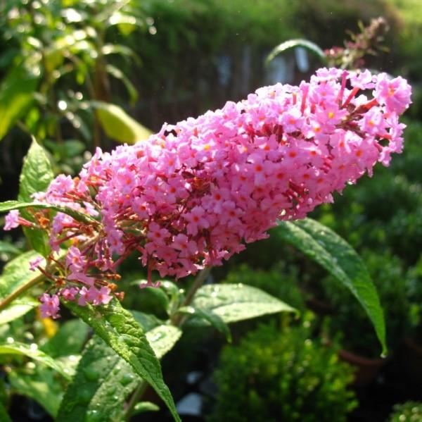 Sommerflieder Pink Delight ® dunkelrosa bis pinkfarbener blühende Buddleja im 3 Liter Topf