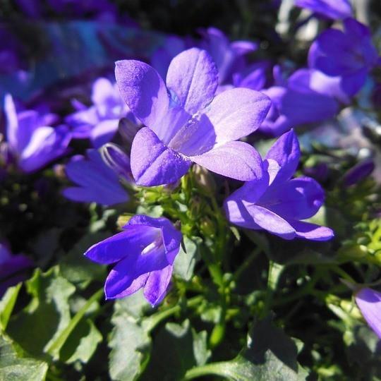 Hängepolster- Glockenblume Blauranke Campanula poscharskyana, Staude im 0,5 l Topf