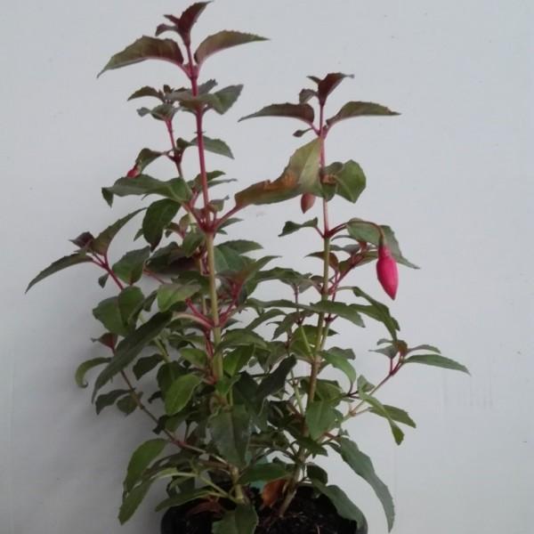 Winterharte Staudenfuchsie Alice Hoffmann, blühfreudige Gartenfuchsie, Fuchsie im Topf