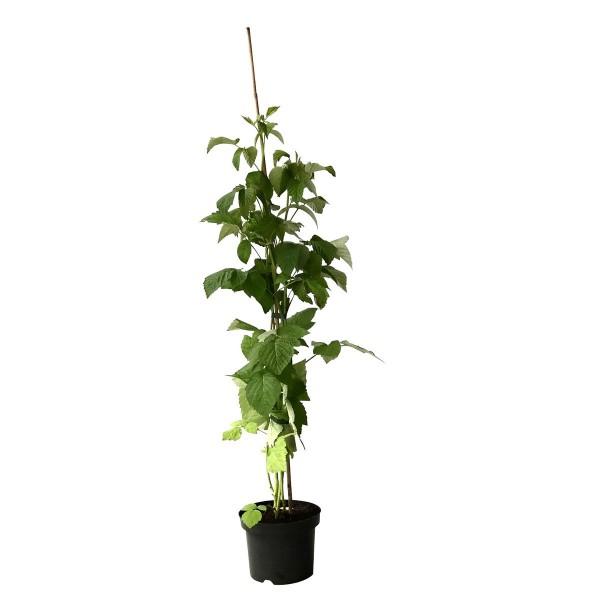 Himbeere Glen Ample sommertragend dornenlos großfruchtig lecker ab 60 cm, Pflanze im 3 Liter Topf