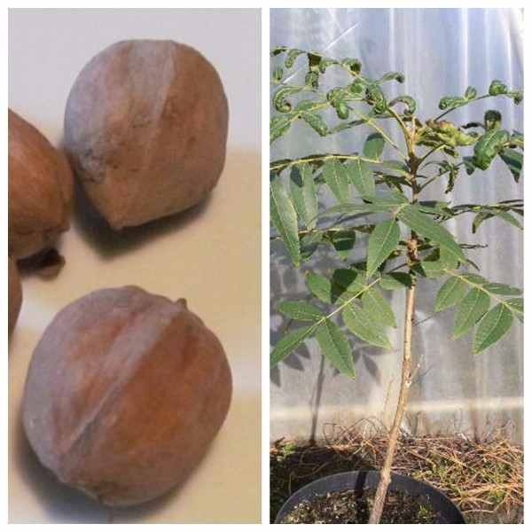 Hickorynussbaum, veredelte Sorte Glover, Carya ovata, Hickorynuss ca. 40-80 cm, im 10 Liter Topf