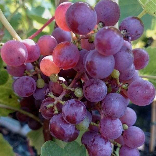 Piroschka, bunte Traube, pilzfeste Weinrebe mit früher Reifezeit, gestäbt 60-90 cm im kleinen Topf