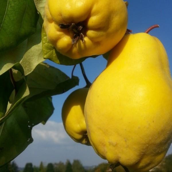 Bereczki Birnenquitte Halbstamm selbstfruchtbar 170-200 cm groß im 10 Liter Topf Unterlage Quitte A