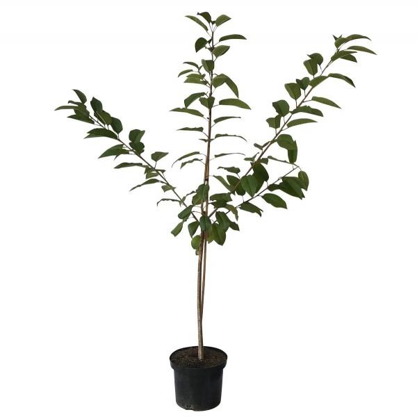 Oktavia, Süßkirsche aromatische Kirsche Buschbaum Kirschbaum ca. 120-150 cm im 9,5 Liter Topf F12/1