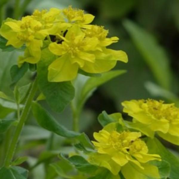 Vielfarbige Wolfsmilch Euphorbia polychroma epithymoides gelbe Blüte im Mai im 0,5 Liter Topf