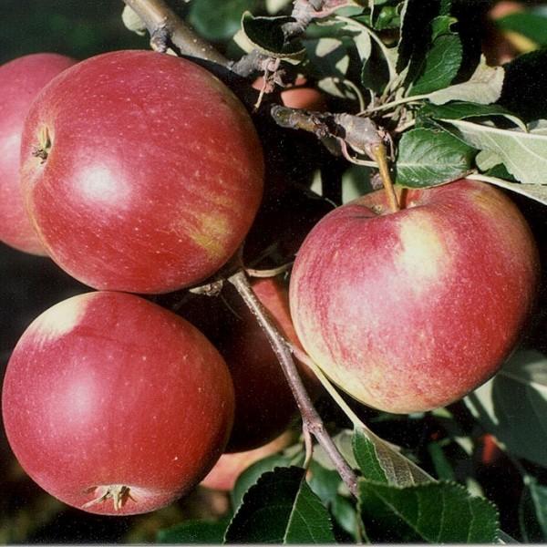 Apfelbaum Roter James Grieve saftiger Sommerapfel Buschbaum 120-150 cm 10 Liter Topf Unterlage M7