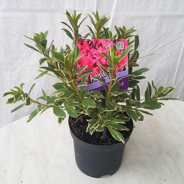Japanische Azalee Silver Sword Rhododendron obtusum 30 cm im 1 Liter Topf