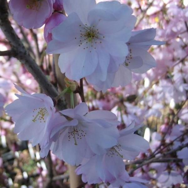 Kurilenkirsche Ruby - Prunus kurilensis