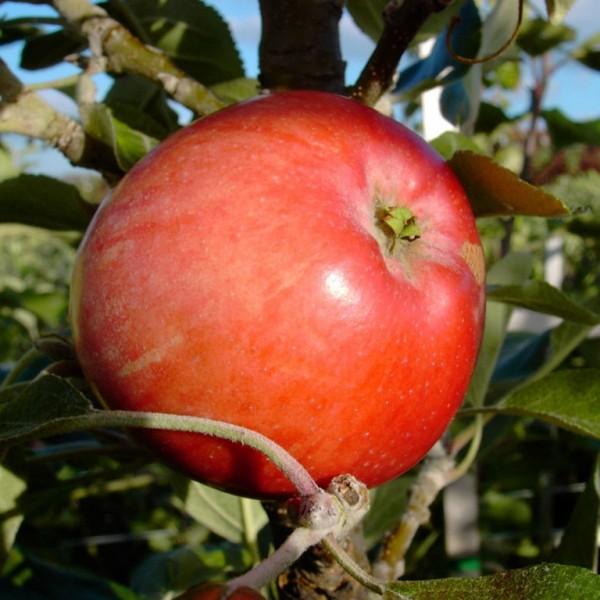 Westfälischer Frühapfel robuste Sorte Hochstamm 180 cm Stamm wurzelnackt Unterlage Sämling