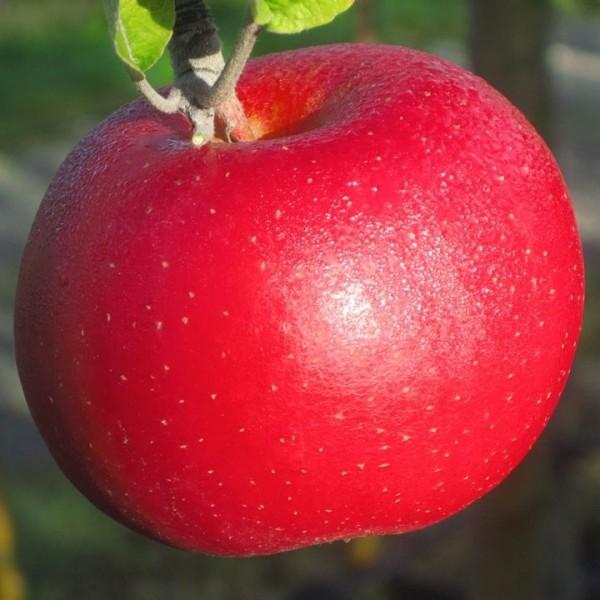 Apfelbaum Roter Berlepsch, hoher Vitamin C Gehalt historisch Buschbaum 150-170 cm 10 Liter Topf M7
