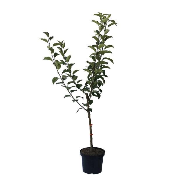 Familienbaum Vierling Apfelbaum: James Grieve, Alkmene, Cox, Melrose 7,5 Liter Topf,  Unterlage M7
