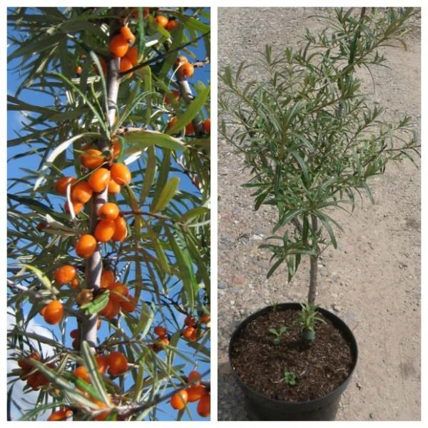 Sanddorn SET aus 1 weiblichen Pflanze Leikora und 1 männlichen Pflanze Pollmix, je im 3 Liter Topf