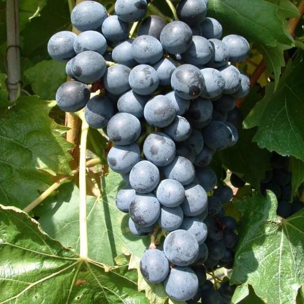 Muscat bleu - Weintraube mit Muscataroma