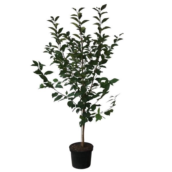 Morina Ⓢ Sauerkirsche saftige robuste Sorte große Früchte Buschbaum 120-150 cm 10 L Topf wurzelecht