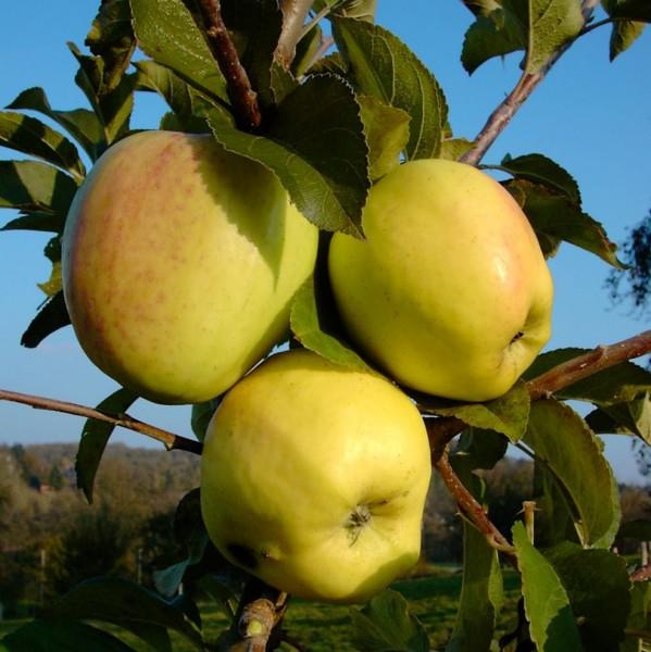 Apfelbaum Weißer Winterglockenapfel Glockenapfel Lagerapfel Spindel 120-150 cm 7,5 Liter Topf auf M9