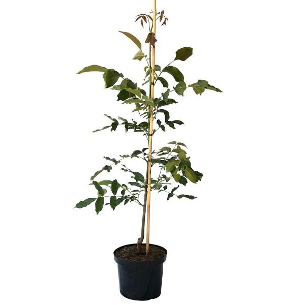 Rote Donaunuss rotschalige Walnuss Sorte veredelter Walnuss Baum ca. 60-100 cm im 10 Liter Topf
