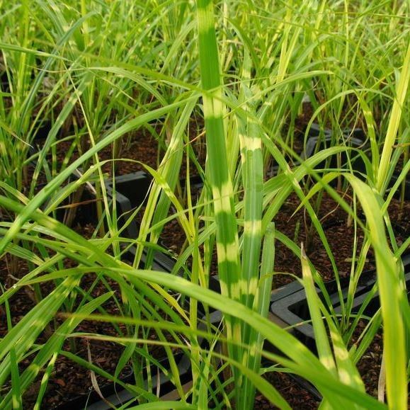 Chinaschilf Zebragras, Miscanthus sinensis Zebrinus, Staude im 1 Liter Topf