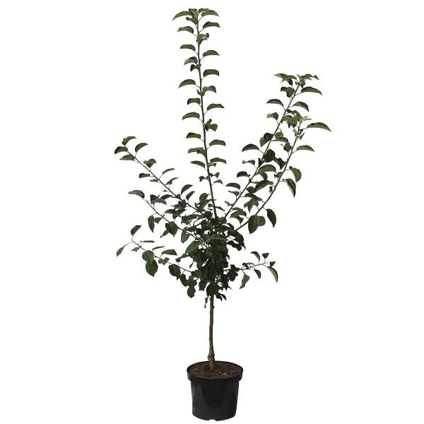 Apfelbaum Nela Ⓢ süßer knackiger Sommerapfel Buschbaum 120-150 cm im 7,5 Liter Topf Unterlage M9