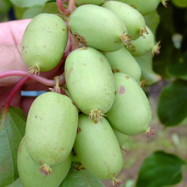 Kiwi Issai selbstfruchtbare Actinidia arguta