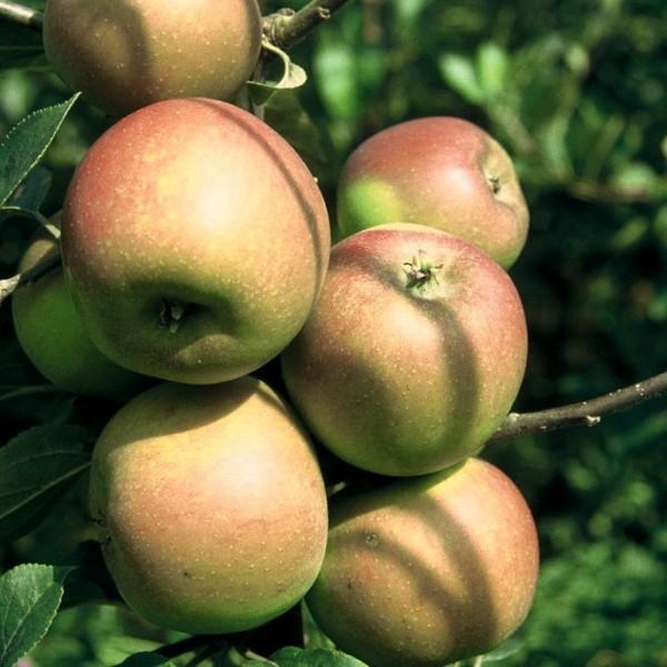 Rote Goldparmäne historische Apfelsorte robuster Herbstapfel Halbstamm 170-200 cm 10 Liter Topf M7