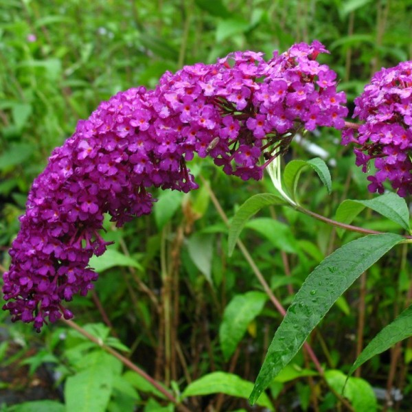Sommerflieder Empire Blue ® blau blühend, Buddleja, Pflanze im kleinen Rechtecktopf