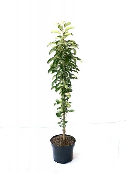 Säulenapfel 1a-plant Peke® saftig süß mit angenehmer Säure ca 80-120 cm Unterlage: M 7
