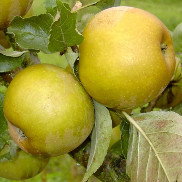 Graue Herbstrenette Apfelbaum historische Sorte Hochstamm 180 cm Stamm wurzelnackt Unterlage Sämling