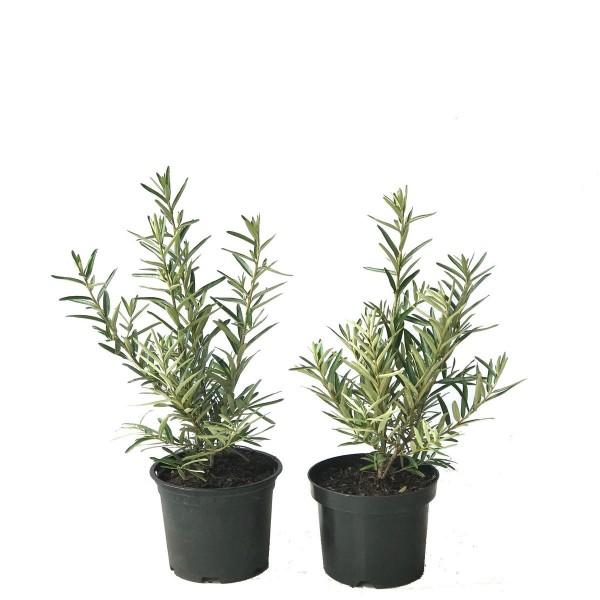 Sanddorn 2er Set Tytti + Tarmo weibliche + 1 männliche Sanddornpflanze sehr robust und reichtragend