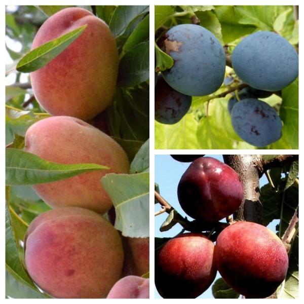 Familienbaum Duo Multi Fruit Tree: Pfirsich - Blaue Pflaume - Rote Pflaume auf einem Baum