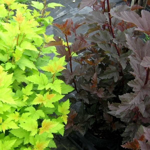 2er-Set Kleine rotlaubige und gelblaubige Fasanenspiere Physocarpus opulifolius Summer Wine + Nugget