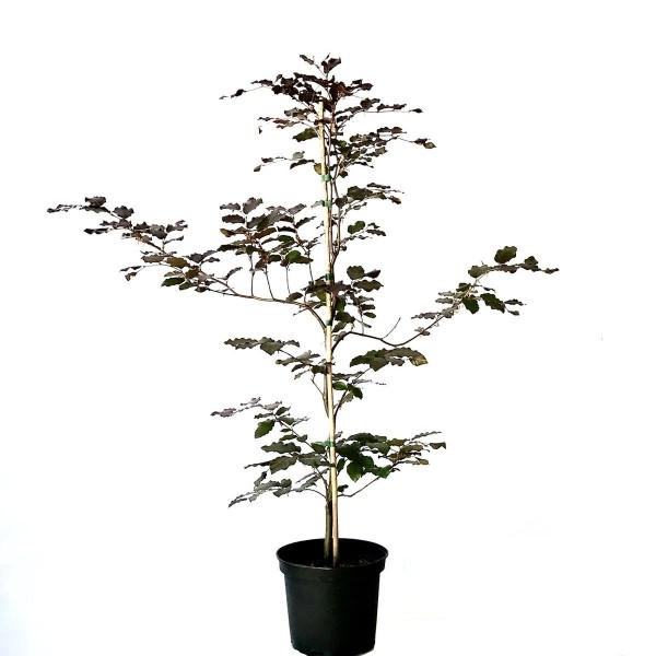 Rotbuche Buche Fagus sylvatica heimischer Waldbaum als Heister mit ca. 100-150 cm im 5 Liter Topf