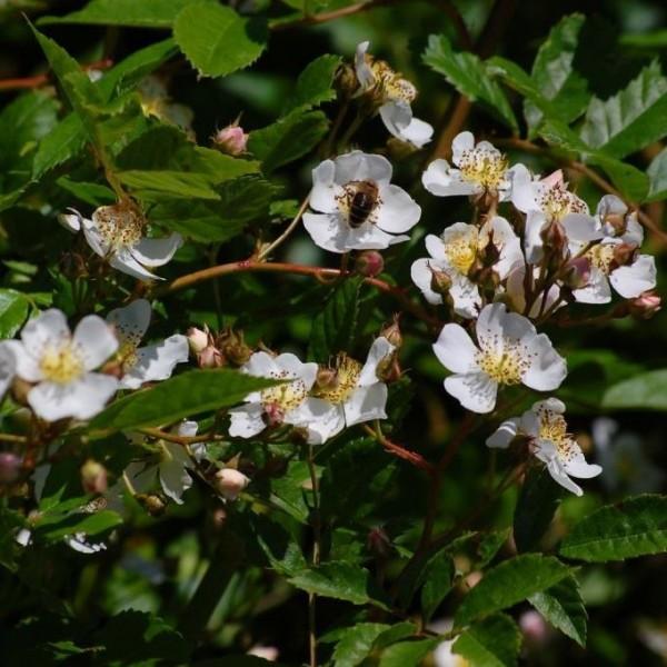 Rispenrose Rosa multiflora vielblütige Wildrose Ramblerrose weiße Blüte Bienen Insekten Nährgehölz