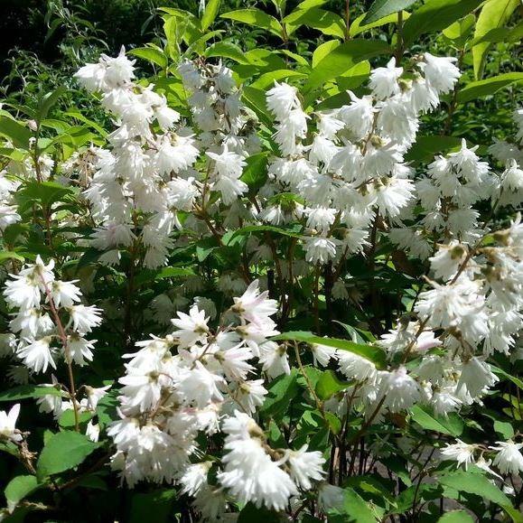 Maiblumenstrauch, Deutzia gracilis, 2 Pflanzen, weiß blühend 20-40 cm im 1-3 Liter Topf