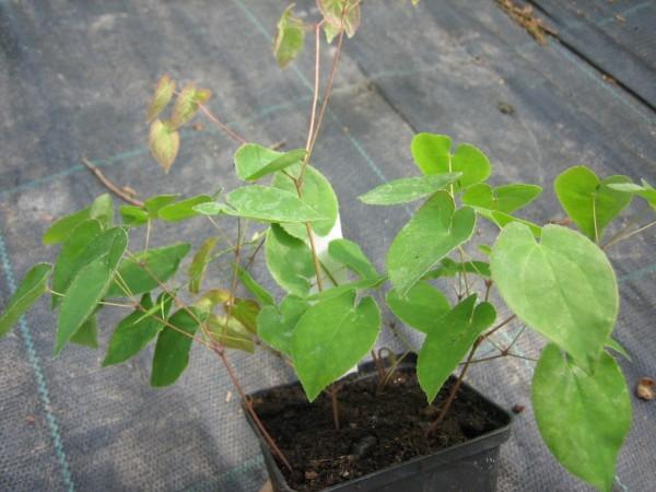 Elfenblume, Epimedium x versicolor Sulphureum, schwefelgelbe Blüte, Staude im 0,5 Liter Topf