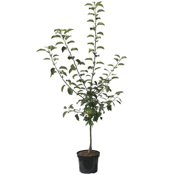 Cox Orange schwachwachsend kleinbleibend Winterapfel Zwergbaum 120-150 cm 10 Liter Topf M26
