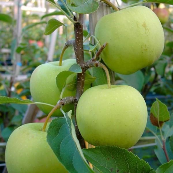 Golden Delicious Apfelbaum Winterapfel aromatisch Buschbaum ca. 120-150 cm 9,5 Liter Topf MM 111